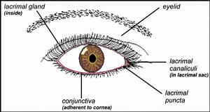 graphic of the eye showing the lacrimal gland, lacrimal canaliculi, lacrimal puncta, conjunctiva and eyelid